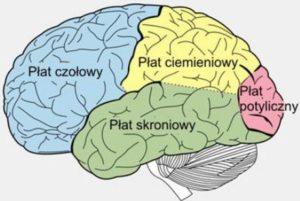 budowa-mozgu