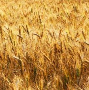 Uprawa zbóż do produkcji jedzenia